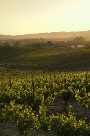 west end: Vineyard, Napa Valley, California, USA