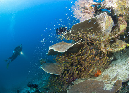 adventuresome: Scuba Diver and Coral Reef, Raja Ampat, West Papua, Indonesia