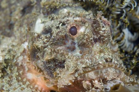 dragonfish: Portrait of Scorpion Fish, Raja Ampat, West Papua, Indonesia LANG_EVOIMAGES