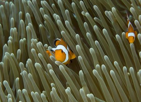 clown fish: False Clown Anemonefish, Raja Ampat, West Papua, Indonesia
