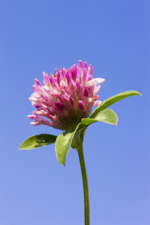 red clover: Close-up of Red Clover