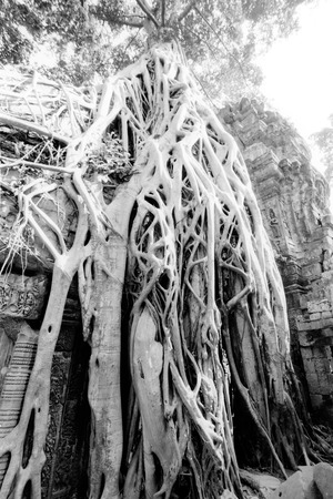 Overgrown Tree Roots, Angkor Wat, Siem Reap, Cambodia LANG_EVOIMAGES
