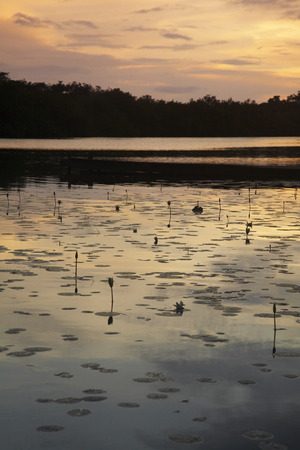 nymphaeaceae: Overview of Water Lilies on Pond, Belize