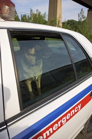 squad: Police Dog in Backseat of Police Car