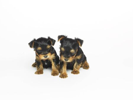 Yorkshire Terrier Puppies LANG_EVOIMAGES