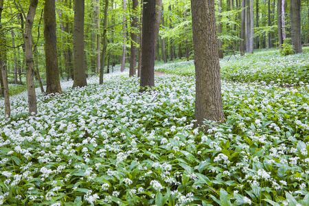 Bears Garlic by Path, Hainich National Park, Thuringia, Germany LANG_EVOIMAGES