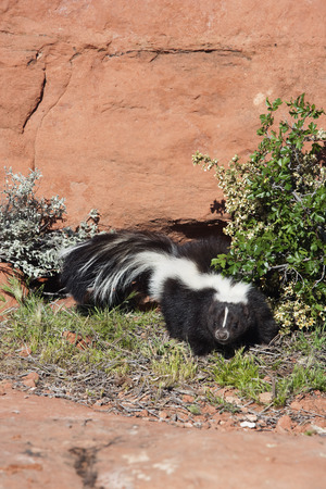 Skunk Standing on Patch of Grass, Hurricane, Utah LANG_EVOIMAGES