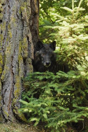 Dark Wolf, Kalispell, Montana, USA