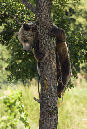 Brown Bear Cub Climbing a Tree, Kalispell, Montana, USA