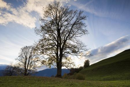 acer: Bare Maple Tree in Saafelden, Salzburg, Austria