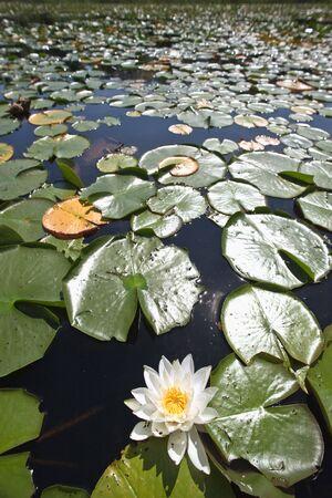 nymphaeaceae: Water Lilies, Georgian Bay National Park, Ontario, Canada