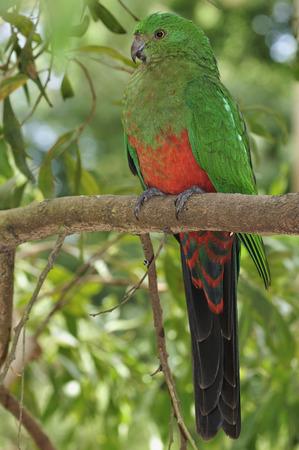 Australian King Parrot, Dandenong Ranges National Park, Victoria, Australia LANG_EVOIMAGES