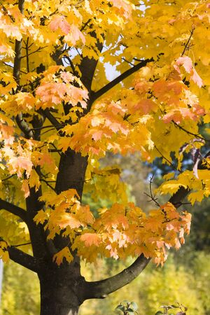 acer: Sycamore Tree in Autumn LANG_EVOIMAGES