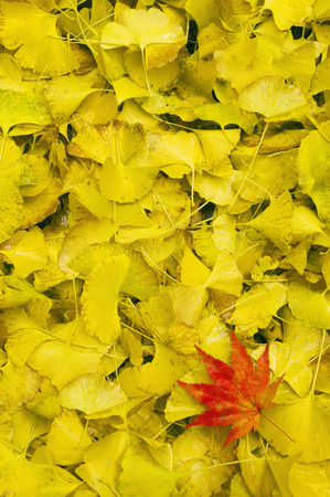 Red Japanese Maple Leaf on Bed of Yellow Gingko Leaves