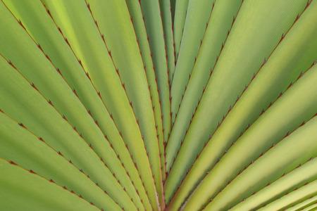 Close-up of Pandanus (Screwpine) Leaves,Grand Canaria, Spain LANG_EVOIMAGES
