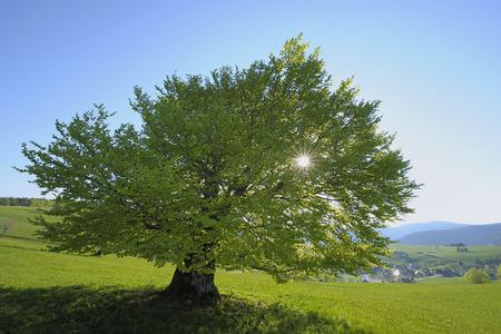 Lone Beach Tree, Black Forest, Baden Wuerttemberg, Germany