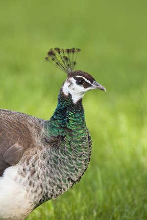 common peafowl: Portrait of Female Indian Peacock