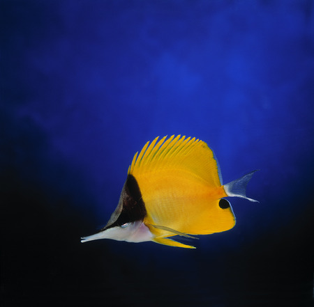 chaetodontidae: Long-nosed Butterfly Fish LANG_EVOIMAGES