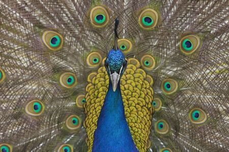 common peafowl: Portrait of Male Indian Peacock LANG_EVOIMAGES