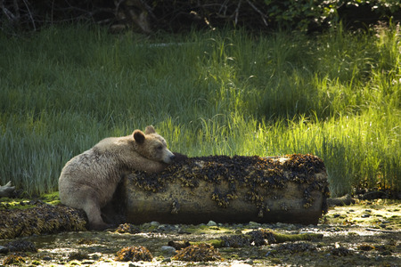 inebriated: Grizzly Bear Resting on a Log, Glendale Estuary, Knight Inlet, British Columbia, Canada