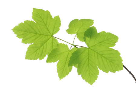 acer: Sycamore Maple Leaves on Branch