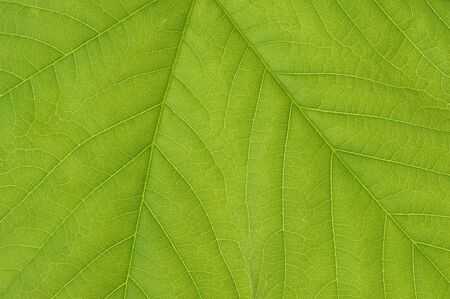 acer: Close-Up of Sycamore Maple Leaf