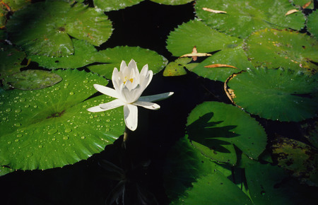 nymphaeaceae: Water Lily