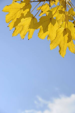 acer: Maple Leaves in Autumn, Bavaria, Germany LANG_EVOIMAGES