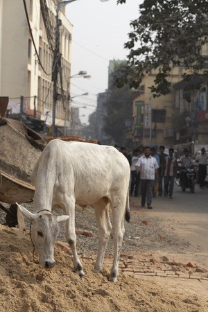 tied down: Cow, Kolkata, West Bengal, India