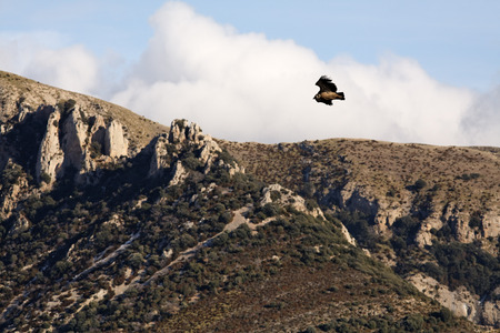 gyps: Griffon Vulture, Sierra de Guara, Huesca, Aragon, Spain