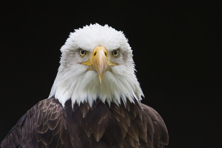disapprove: Close-Up of Bald Eagle