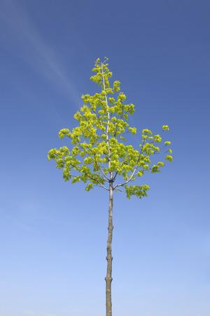 acer: Maple Tree, Wallern im Burgenland, Burgenland, Austria LANG_EVOIMAGES
