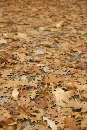 acer: Close-up of Autumn Leaves on the Ground
