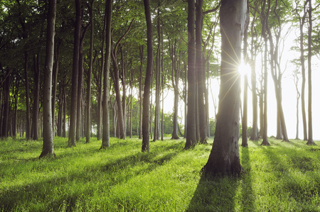 Sun through Beech Trees, Mecklenburg-Vorpommern, Germany