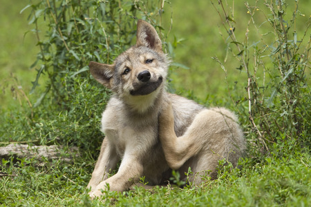 canid: Wolf Pup