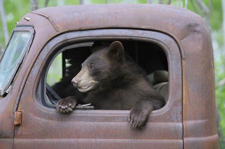 down beat: Black Bear in Old Truck, Minnesota, USA