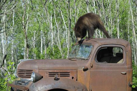 down beat: Black Bear on Top of Old Truck, Minnesota, USA