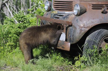 Black Bear Looking at Old Truck, Minnesota, USA