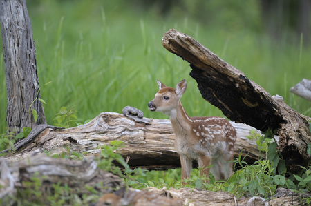 White Tailed Deer Fawn, Minnesota, USA