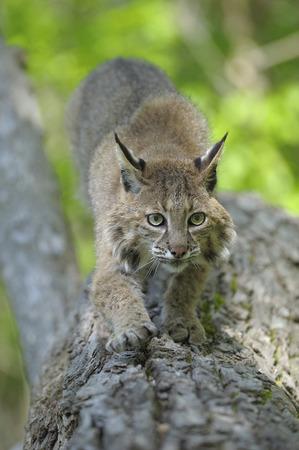 felid: Bobcat, Minnesota, USA LANG_EVOIMAGES