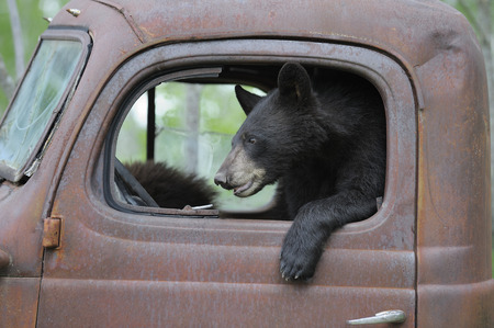 dilapidation: Black Bear in Old Truck, Minnesota, USA