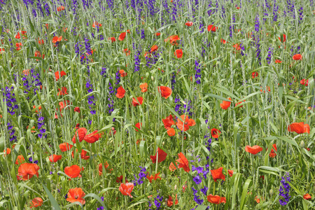 corn flower: Corn Poppies and Delphinium, Alzey, Alzey-Worms, Rhineland-Palatinate, Germany LANG_EVOIMAGES