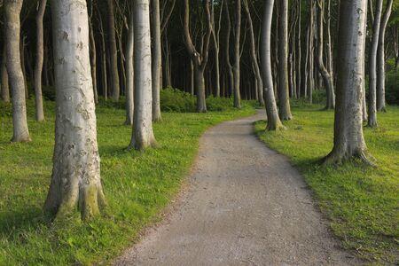 Beech Trees, Nienhagen, Bad Doberan, Western Pomerania, Mecklenburg-Vorpommern, Germany
