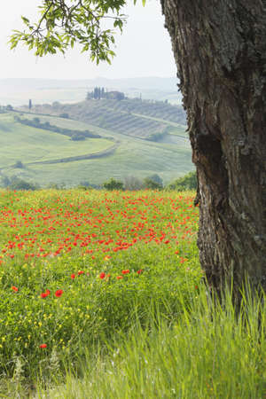 corn flower: Olive Tree Trunk and Shirley Poppy Field, Castiglione dOrcia, Val d Orcia, Tuscany, Italy