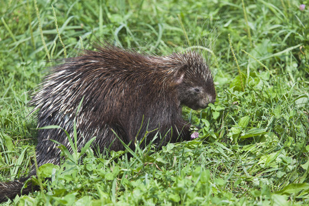Porcupine Feeding in Clover Field, Ontario, Canada LANG_EVOIMAGES