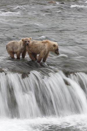Brown Bears, Katmai National Park, Brooks River, Alaska, USA