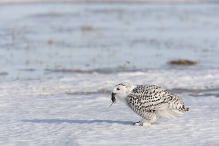 qc: Snowy Owl Eating a Mouse, Quebec, Canada