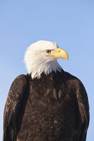 disapprove: Bald Eagle, Homer, Kenai Peninsula, Alaska, USA