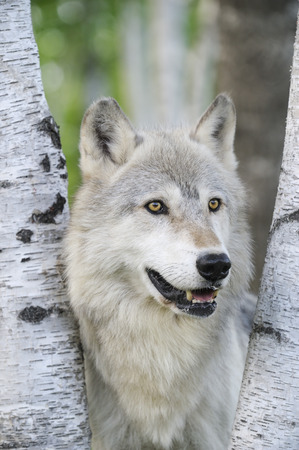 canid: Portrait of Timber Wolf, Minnesota, USA LANG_EVOIMAGES