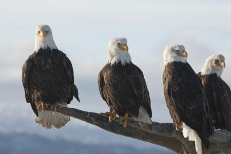homer: Bald Eagles, Homer, Kenai Peninsula, Alaska, USA